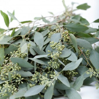 Eucalyptus Seeded