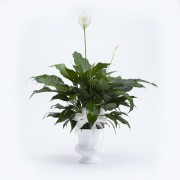 Peace Lily Urn
