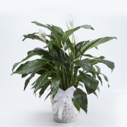 Peace Lily Basket White